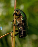 Rose chafer, cetonia aurata. On straw in macro Stock Images
