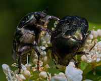 Rose chafer, cetonia aurata. Two pieces of the same flower in macro Royalty Free Stock Photos