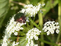 Rose chafer Stock Images