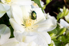 Rose chafer on clematis flower Stock Image