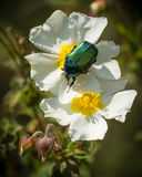 Rose chafer coleopteron on rockrose flowers. Green rose chafer coleopteron on white rockrose flowers Royalty Free Stock Photo