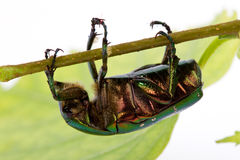 Rose chafer crawling on a branch Royalty Free Stock Photo