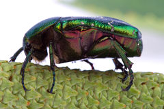 Rose chafer crawling on a branch Stock Photo