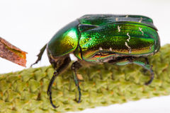 Rose chafer Royalty Free Stock Photography