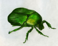 Rose chafer - drawing. Rose chafer (Cetonia aurata). Colored pencil drawing stock illustration