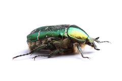 Rose chafer (Сetonia aurata) isolated on white Stock Photography