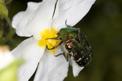 Rose Chafer on flower. Rose Chafer on white flower, shiny green beetle Stock Photo