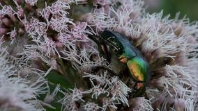 Rose chafer on a flower stock video footage