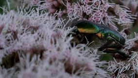 Rose chafer on a flower stock video