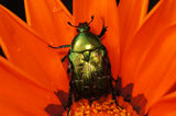 Rose chafer on a gerbera. Rose chafer beetle standing in a bud of a red gerbera Royalty Free Stock Images