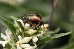 Rose chafer Stock Image