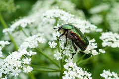 Rose Chafer Macro. Close-up image of rose chafer bug on white flowers Royalty Free Stock Images