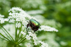 Rose Chafer Macro. Close-up image of rose chafer bug on white flowers Stock Photo
