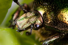 Rose chafer macro. On a green leaf Royalty Free Stock Images