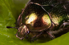 Rose chafer. Macro on a leaf Stock Photos