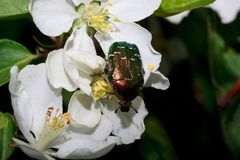 Rose chafer is sitting on a flowering apple tree. Stock Image
