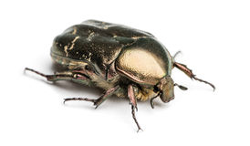 Rose chafer viewed from up high, Cetonia aurata, isolated Stock Images