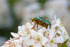 Rose Chafer. On a white flower Stock Images