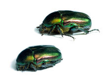 Rose chafers Stock Photo