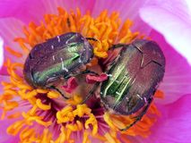 Rose chafers Royalty Free Stock Image