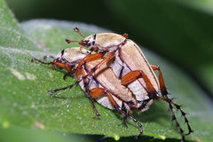 Rose Chafers Mating Stock Image