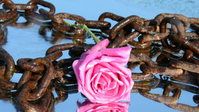 Rose and chains. Freedom video Royalty Free Stock Image
