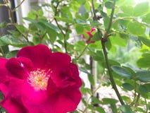 Rose chaud Rose Photo libre de droits