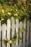 Rose che crescono sopra la rete fissa. Fotografia Stock Libera da Diritti