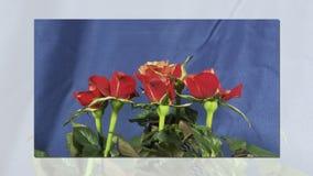 Rose che fioriscono video d archivio