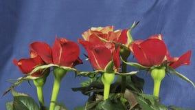 Rose che fioriscono archivi video