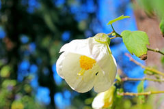 Rose cherokee, parc de Balboa de San Diego Photographie stock