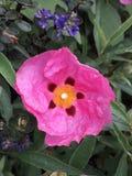 Rose chiffonné et fleur orange images libres de droits