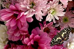 Rose chrysanthemums and butterfly. On dark background stock images