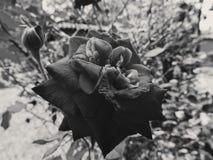 rose ciemności zdjęcie royalty free