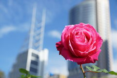Rose in the city. Alone rose in the city waiting for someone Stock Image