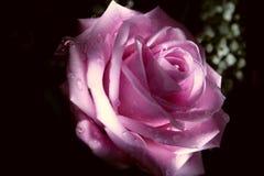 Rose-clair s'est levé Photos stock
