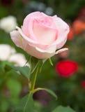 Rose-clair s'est levé Photo stock