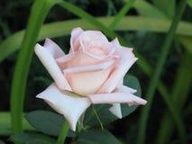 Rose-clair s'est levé Image libre de droits