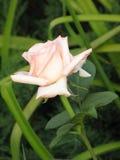 Rose-clair s'est levé Image stock