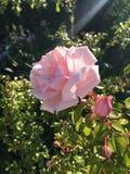 Rose-clair s'est levé Images stock
