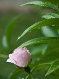 Rose-clair s'est levé après pluie Photos libres de droits