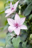 rose clematis obrazy stock