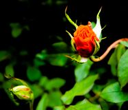 Rose climbing out of its bush royalty free stock images