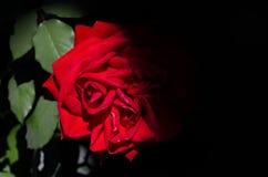 Rose Cloaked In Mysterious Shadow rossa immagine stock libera da diritti