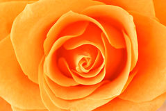 Rose close-up Stock Images