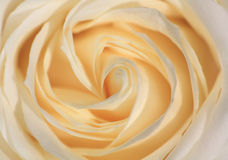 Rose close up Royalty Free Stock Images