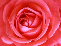 Rose Close-up. Single beauty pink  red rose macro Royalty Free Stock Photo