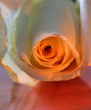 Rose close-up Royalty Free Stock Image