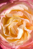 Rose close up Royalty Free Stock Image