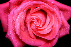 Rose close-up. Close-up picture of beautiful rose with bright dewdrop on the petals Stock Photos